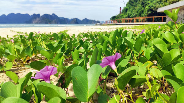 The natural sea water morning glory flowers along the sandy beach.